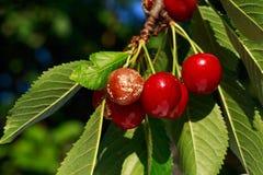 Decaying cherries mold Stock Image