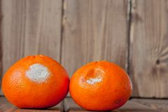 Rotten moldy oranges, tangerines on wooden background. A photo of the growing mold. Food contamination, bad spoiled disgusting. Rotten fruit. Messthetics royalty free stock images