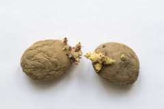 Rotten old sprouting potatoes royalty free stock image