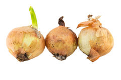 Rotten onion isolated Stock Photo