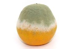 Rotten orange. Isolated on white background stock photography
