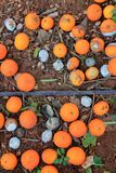 Rotten oranges fallen in floor market price is low Royalty Free Stock Photography
