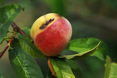 The rotten peach. On a branch Stock Photos
