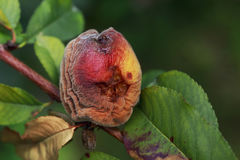 The rotten peach. On a branch Royalty Free Stock Image