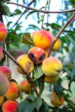 Rotten peaches. On a tree Stock Images
