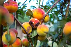 Rotten peaches on a tree. At sunset Royalty Free Stock Photo