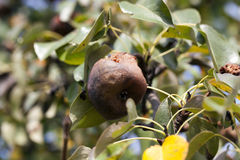 Rotten pear on the tree Royalty Free Stock Images