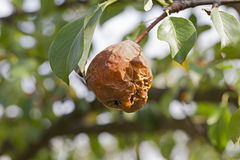 Rotten pear on the tree Royalty Free Stock Photo