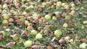 The rotten pears fallen from the tree lie on the grass stock video