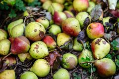 Free Rotten Pears On The Ground Royalty Free Stock Photography - 122636827