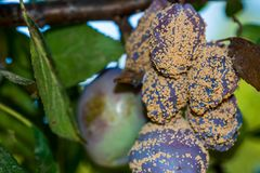 Rotten plum fruits on the tree close up macro. Shot royalty free stock photos