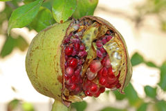 Rotten Pomegranate Royalty Free Stock Photo