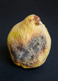 Rotten quince Stock Photography