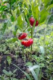 Rotten red bell pepper Royalty Free Stock Photography