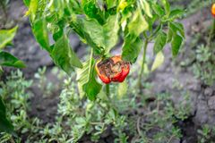 Rotten red bell pepper Stock Photography