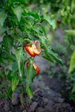 Rotten red bell pepper Royalty Free Stock Image