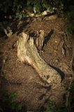 Rotten root Lyme Park Disley, Stockport, Peak District National Park Cheshire England Stock Photography