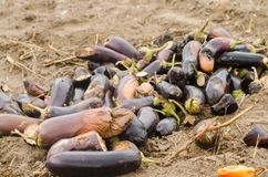 Rotten spoiled eggplant vegetables lie on the field. poor harvest concept. production waste, plant disease. agriculture, farming. stock photos