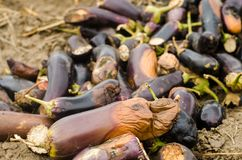 Rotten spoiled eggplant vegetables lie on the field. poor harvest concept. production waste, plant disease. agriculture, farming. stock images