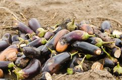 Rotten spoiled eggplant vegetables lie on the field. poor harvest concept. production waste, plant disease. agriculture, farming. royalty free stock photography