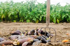 Rotten spoiled eggplant vegetables lie on the field. poor harvest concept. production waste, plant disease. agriculture, farming. royalty free stock photos