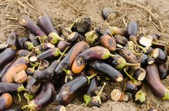 Rotten spoiled eggplant vegetables lie on the field. poor harvest concept. production waste, plant disease. agriculture, farming. stock photo