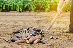 Rotten spoiled eggplant vegetables lie on the field. poor harvest concept. production waste, plant disease. agriculture, farming. royalty free stock image