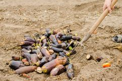 Rotten spoiled eggplant vegetables lie on the field. poor harvest concept. production waste, plant disease. agriculture, farming. royalty free stock photo