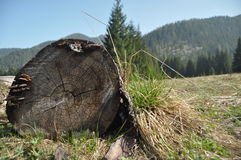 Rotten stump in a clearing in the mountains. Stock Image