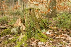 Rotten stump Stock Photos