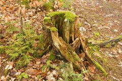 Rotten stump Royalty Free Stock Image