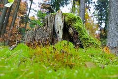Rotten stump. Rotten tree stump covered with moss Royalty Free Stock Image