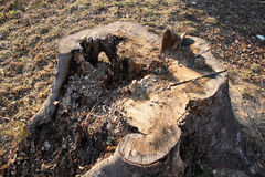 Rotten stump Stock Photography