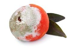 Rotten tangerine Stock Photography
