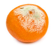 Rotten tangerine with mold, spoiled. Isolated. On white background Stock Photos