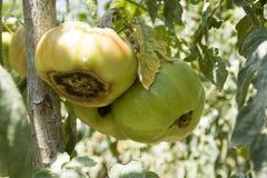 Rotten tomato royalty free stock photo