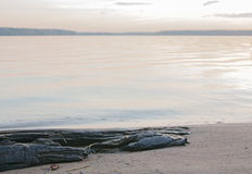 Rotten tree on the beach Stock Photography
