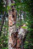 Rotten tree Royalty Free Stock Photos