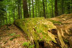 Rotten tree lying on the forest ground Stock Images