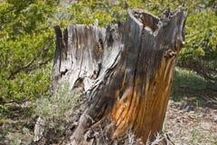 Rotten tree stump Stock Images
