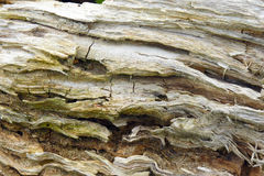 Rotten tree stump bent close-up. The rotten tree stump bent close-up royalty free stock photography