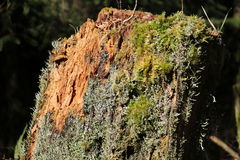 Rotten tree trunk. Rotting brown tree trunk bark covered in green moss and lichen stock images