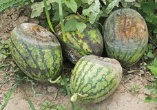 Rotten Watermelons. Four rotten watermelons in the farmland Stock Photo