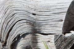 Close-up of colorless texture on decaying tree trunk. Rotten, white tree trunk with black and white rough surface royalty free stock photography