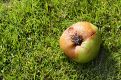 Rotten windfall apple Stock Images