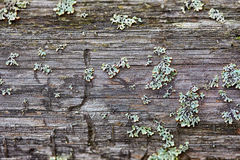 Rotten wood and lichen. Close up shot. Nature texture Stock Images