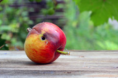 Rotten and  worm-eaten wormy apple Stock Photography