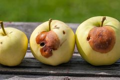 Rotten yellow apples on rustic pine wood table stock photo