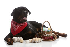 Rottie Easter Royalty Free Stock Image