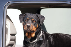 Rottie in a Truck. A young female rottweiler going for a ride in the backseat of a truck Stock Photo